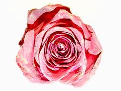 Red Shades (Robert Cowlishaw (Mertonian)) Tags: playing macro beauty beautiful wonder awe ineffable rose markiii g1x powershot canon canonpowershotg1xmarkiii robertcowlishaw mertonian swirls swirling redshades shadesred