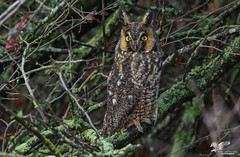 More Fun WIth Long-Ears (Long-Eared Owl) (The Owl Man) Tags: