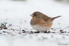 Dark-eyed Junco (bechtelsf) Tags: olympus em1markii zuikon300mm ohio rieckcenterforhabitatstudies birds wildlife animals nature bird universityoffindlayrieckcenterforhabitatstudies