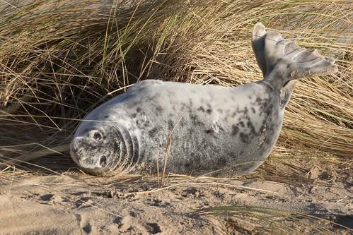 Grey seal warming itself in the winter sun