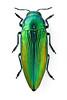 Eurythyrea eoa (Kohichiroh) Tags: buprestidae insect jewelbeetle beetle eurythyrea macro focusstack green whiteback
