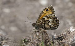 Grayling (Hipparchia semele). (Bob Eade) Tags: grayling hipparchiasemele eastsussex sussex downland grassland butterfly lepidoptera nature nikon macro