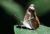 Knight - Lebadea martha (Roger Wasley) Tags: knight lebadeamartha butterfly butterflies kaziranga nationalpark assam india asia insect indian nepal