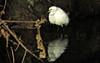 Fishing in the shade (TJ Gehling) Tags: bird ardeidae egret snowyegret egretta egrettathula cerritocreek creeksidepark elcerrito