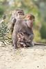 DSC09763 (Cyn Reynolds) Tags: hamadryasbaboon baboon christina 2017 grooming africarocks fbzoo2017