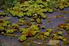 Salvinia adnata Desv. (Ahmad Fuad Morad) Tags: lukuilukut salvinia giantsalvinia karibaweed waterfern salviniaadnata salviniaceae