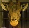 Indoor (nicotr) Tags: 20171213 girafe zoo