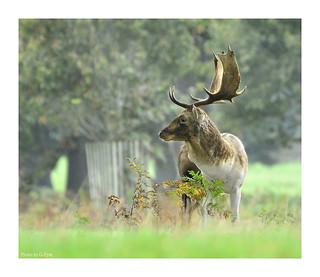 Powderham deer