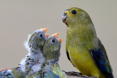 Blue-winged Parrot chicks being fed (Neophema chrysostoma) (Neil H Mansfield) Tags: neophemachrysostoma blue winged parrot bluewingedparrot victoria australia nature geelong