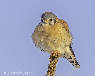 American Kestrel keeping warm on a cold day IMG_6473