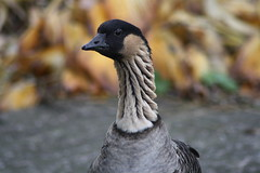 Quack (Jasardpu) Tags: zoo karlsruhe ente gans tier vogel animal bird