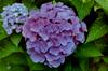 Hydrangea (Exner Lover) Tags: flower floraandfauna hydrangea