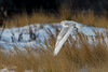 Snowy Owls of New Jersey | 2017 - 18 (RGL_Photography) Tags: bif birding birds birdsinflight birdsofprey birdwatching buboscandiacus gardenstate jerseyshore monmouthcounty mothernature nature newjersey nikonafs600mmf4gedvr nikond500 ornithology owls raptors snowyowl us unitedstates wildlife wildlifephotography beachowl