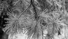 (jtr27) Tags: dscf4918xl jtr27 fuji fujifilm xt20 xtrans vivitar komine 55mm f28 macro manualfocus ice pine needles storm blackandwhite monochrome landscape maine newengland bw nb