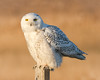 Snowy Owl (tresed47) Tags: 2017 201712dec 20171219delawarebirds birds canon7d content december delaware fall folder fowlersbeach owl peterscamera petersphotos places season snowyowl takenby us ngc npc