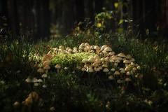 *** (pszcz9) Tags: przyroda nature natura grzyb mushroom las forest forestimages jesień autumn beautifulearth sony a77 bokeh
