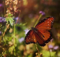 Papillon, jardin botanique de Fort Worth