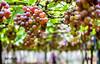 grapes (SarojPadhy) Tags: grape