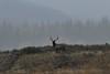 An Elk in the national Elk Refuge in Wyoming. (arthuroleary) Tags: animal nationalelkrefuge elk wildlife fz1000 lumixfz1000 lumix panasonic nationalpark grandtetonnationalpark wyoming thewest unitedstates