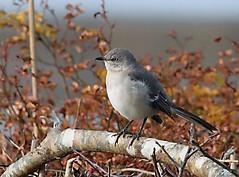 Northern Mockingbird, Cummaquid, MA (petertrull) Tags: elements