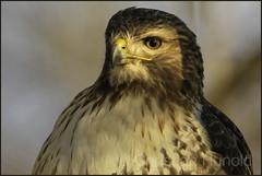 red-tailed hawk (Christian Hunold) Tags: redtailedhawk buteojamaicensis raptor bird rotschwanzbussard johnheinznwr philadelphia christianhunold