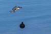 Fish for Breakfast (Ryan Jeske) Tags: california canon80d coot supertelephoto lososos bird sweetspringsnaturepreserve canon canonef100400mmf4556lisiiusm kingfisher bif