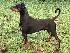 I Am A Dobermann - Don't Let That Long Tail Fool You (firehouse.ie) Tags: perro chien canine k9 animals animal dogs dog saxon tan black boy male pinscher pinschers dobermanns dobermans dobermann doberman dobeys dobey dobies dobie dobes dobe