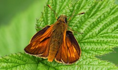 Large Skipper 010717 (2) (Richard Collier - Wildlife and Travel Photography) Tags: butterflies insects british macro largeskipper wildlife naturalhistory a hrefhttpswwwflickrcomgroups660297n21img srchttpsfarm2staticflickrcom14381398178482d1c588f87eqjpg width150 height150 naturethroughthelensinvitedphotosonly i u nature through the lens invited photos only this really is capture tag your photo with naturethroughthelens