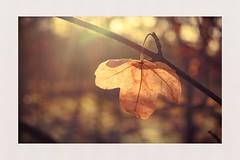Holding on (hall1705) Tags: leaf holdingon nature autumnleaves sun closeup westsussex nikon1j5 trees outdoor bokeh dof seasons