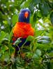 Lorikeet watching (Scottmh) Tags: 2017 birds d7100 feeding flight fruit lorikeets nikon rainbow summer tree