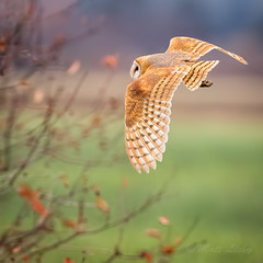 Barn Owl (mLichy911) Tags: barn owl owls raptor wild wildlife pnw wa seattle nature winter canon 7dmarkii 500f4 flight colorful bokeh bird feathers