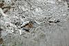 Mallard, Loch Morlich, Highland, Scotland (Terathopius) Tags: mallard anasplatyrhynchos anasplatyrhynchosplatyrhynchos lochmorlich highland scotland unitedkingdom uk greatbritain gb