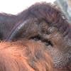 primates orang goyang jul 25 2017 (parky_dp) Tags: orang orangs orangutan orangutans redape ape primate primates lookingatyou whatdoyouthink peek zooanimal zooanimals