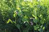 CKuchem-2105 (christine_kuchem) Tags: acker ackerrand agrarlandschaft biene bienenfreund bienenweide blühstreifen blüte boden bodenverbesserung dünger düngung eiweis eiweiserbsen erbsen feld felder grün gründünger insekten klee kulturlandschaft landwirtschaft lupinen mischung nahrung nektar phacelia pisumspec ramtillkraut sommer verbesserung winter winterroggen bio biologisch blau lila naturnah natürlich