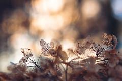 It's in the details (Ans van de Sluis) Tags: ansvandesluis brakkenstein hortus parkbrakkenstein autumn bokeh bokehlicious botanic botanical flora floral flower macro nature hydrangea