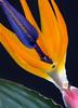 paradise by the blackboard (natural light) (otgpics) Tags: strelitzia reginae bird paradise orange blue flower tepals bright color black background