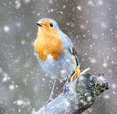 XT20 (mortimer.adrian) Tags: nature bird robin winter colour red detail beauty