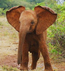 Babe - So young, so full of energy (janetfo747 ~ Dreaming of Africa) Tags: elephants babe energy spirit wild babies nairobi kenya