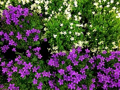 Colors speak all languages (Joseph Addison) (RenateEurope) Tags: plants renateeurope 2017 iphoneography white violett flowers flora awesomeblossoms