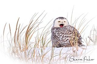 Snowy Yawn