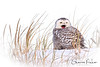Snowy Yawn (Sharon's Nature) Tags: sanddunes buboscandiacus wintermigration arctic raptor audobon nationalgeographic canon beach snow snowyowl winter wildlife nature