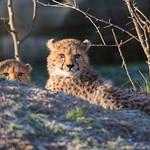 Cheetah cubs thumbnail