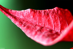 """Christmas"" plant leaf :-) (fotowayahead) Tags: red poinsettiaplant christmas"