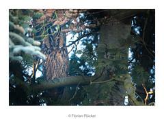 The Owls are Back! (florianpluecker) Tags: waldohreule long eared owl bird vogel eule germany deutschland wildlife natur nature backyard garten winterquartier sigma 150600 contemporary birding