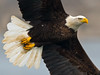 Bald Eagle (Brian E Kushner) Tags: american baldeagle bald eagle fish fishing raptor wings talon beak king flying flight inflight haliaeetusleucocephalus conowingo dam conowingodam darlington md maryland d850 nikond850 bird birds bkushner wildlife animals birdwatcher ©brianekushner nikonafsnikkor800mmf56efledvrlens nikon afs nikkor 800mm f56e fl ed vr lens