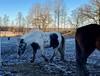 Den lilla lerhögen… (Patrick Strandberg) Tags: sweden östergötland bergagård freyda freydafrånblixtorp icelandichorse islandshäst horse häst iphone iphonex