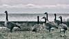 [2009] Canada Geese (Diego3336) Tags: goose geese canadagoose canadawildgoose canadiangoose canadianwildgoose brantacanadensis bird birds wildlife nature urban urbannature birdwatching birdwatch sunnysideboardwalk lakeontario lake water bw sunnyside toronto ontario canada