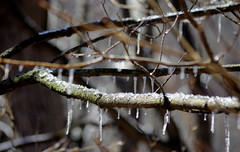 Freezing (Violet aka vbd) Tags: pentax k3 vbd smcpentaxda55300mmf458ed ct connecticut icicles newengland winter ice moss branches lichen handheld 2016 winter2016 bokeh