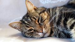 PC110153 Fidoni il lento (La Patti) Tags: brown marrone colori colors nature natura cat gatto gatti cats animal