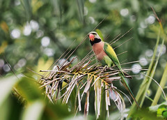 """Red Breasted Parakeet (elenaleong) Tags: wildlifenature """"elenaleong"""" parrot """"redbreastedparakeet"""" pasirrispark"""